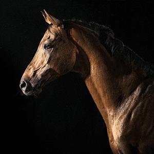 Husten beim Pferd: Equines Asthma? Die häufigste Erkrankung der Atemwege