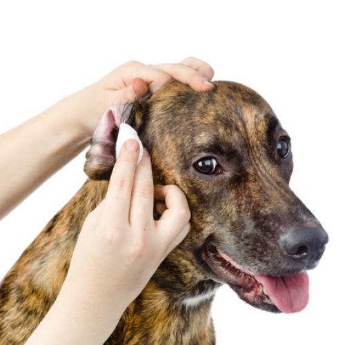 Viel Ohrenschmalz bei Hund und Katze? Tipps zur Ohrenpflege