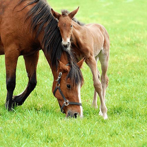 Pferdezucht: Trächtigkeit der Stute, Geburt eines Fohlens und ihre Versorgung