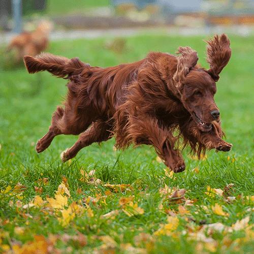 Gesunde Gelenke beim Hund : Der neue Ansatz von Flexadin Advanced