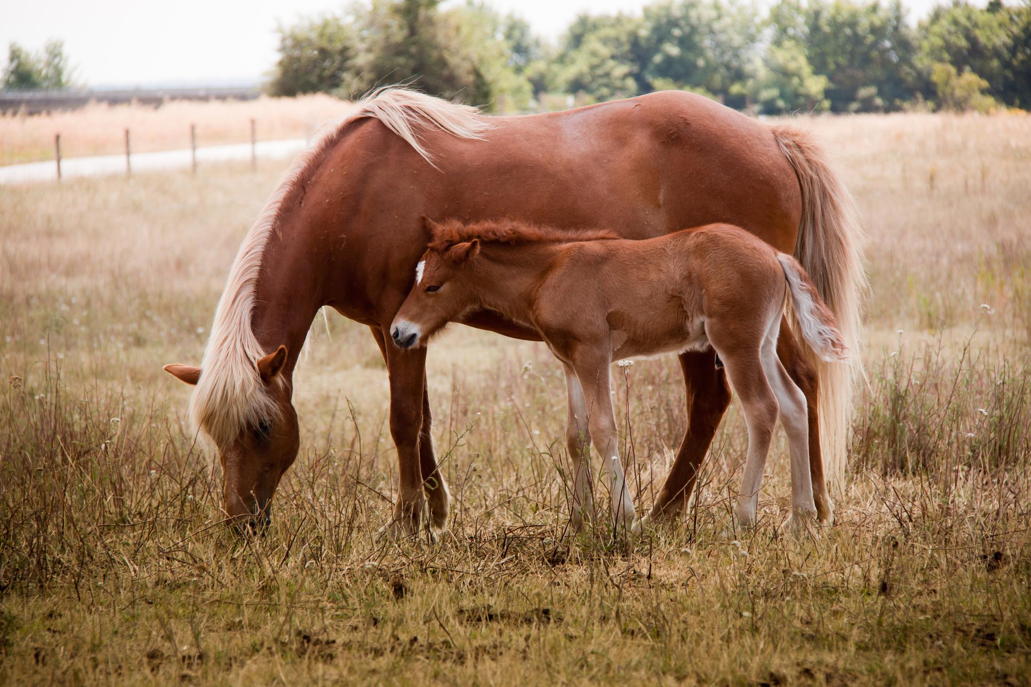 Pferdezucht: Wissenswertes rund ums Züchten von Pferden