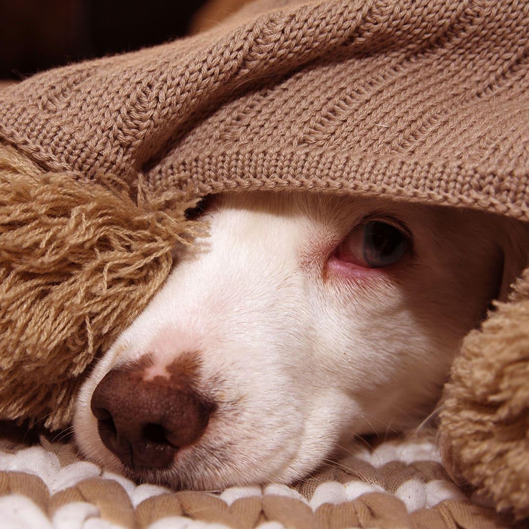 Feuerwerksangst und Geräuschdesensibilisierung bei Hund und Katze